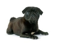 stock-photo-62147814-black-pug.jpg (190×144)