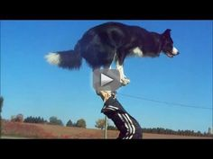 """Nana the Border Collie Performs Amazing Dog Tricks - Meet the world's smartest dog: my best friend, Nana!  From footstalls, to walking front paw handstands, to running backwards, Nana does it all.  All of Nana's training is done exclusively with positive reinforcement and clicker training.  Nana chooses to do all the behaviours in this video, and when she performs a trick, she is rewarded with lots of praise, toys, and treats. She loves what she does, and to her, """"training"""" is all just a big"""
