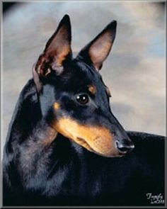 Cracker, toy manchester terrier, my first dog   (picture is not him, but looks like him)