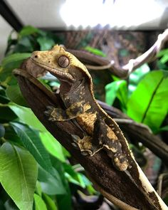 """26 Likes, 6 Comments - Pasqual (@psqld) on Instagram: """"Crested Gecko #crestedgeckosofinstagram #crestedgecko #geckomoments"""""""