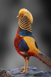 Male Golden Pheasant.