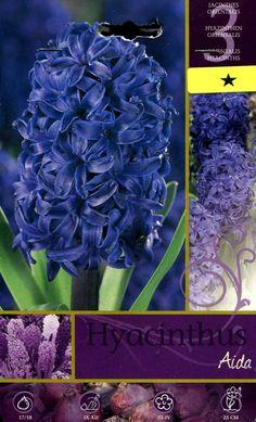 BULBI DI FIORE HYACINTHUS AIDA N. 3 http://www.decariashop.it/bulbi-fiore/2772-bulbi-di-fiore-hyacinthus-aida-n-3.html