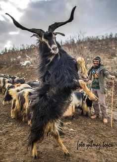 Image result for kiko goat horns