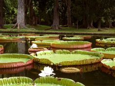 The giant water lilies in the botanical garden in mauritius