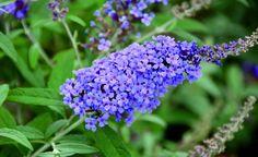 Blüte des Sommerflieders (Buddleja davidii)
