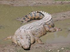 Longest Crocodile! (over 23 Ft.)