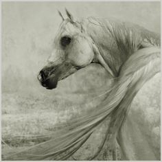 Arabian horses are so beautiful and majestic. My first horse looked just like this stunning creature. Miss him so.