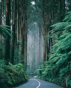 Victoria, Australia, Black Spur Drive. Look at those gorgeous trees.