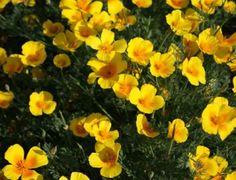 Poppy-California-Golden-West.jpg