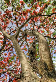 Love the amazingly different trees of this planet. Here a Flame Tree from Hawaii.