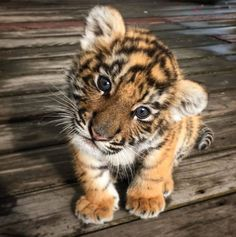 A baby tiger Ein Tigerbaby Cute Wild Animals, Baby Animals Super Cute, Cute Baby Dogs, Baby Animals Pictures, Cute Dogs And Puppies, Cute Little Animals, Cute Animal Pictures, Cute Funny Animals, Animals Beautiful