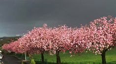 Morning:) Theres a photo serotonin moment occurring right now as a bank of cherry blossom is outlined against a dark and thunderous sky Light Take, Architectural Photographers, Built Environment, Mobile Photography, Mother Nature, Cherry Blossom, Creativity, England, Sky