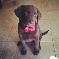 Chocolate lab with a bow tie  Louie!