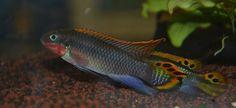 "Smaragd-Prachtbarsch Pelvicachromis taeniatus ""Nigeria Rot"""