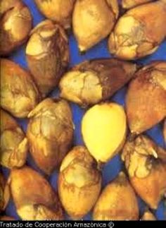 Maripa fruit from Suriname | Maripa - Palm vrucht uit Suriname