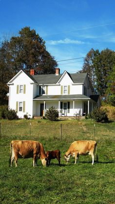 Farm House & Cows Grazing