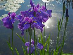 Purp LA iris Pond Plants, Water Plants, Iris Painting, Ponds, Gardening, Purple, Gardens, Flowers, Lawn And Garden