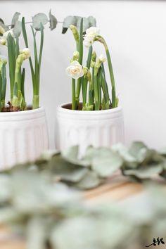 Yhteistyö: Huiskula*     Tykkään perunanarsisseista Narcissus -suvun ruukkukasveista ylivoimaisesti eniten. Kukkien kermanvalkoinen vä...