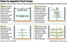 Espaliering trees puts fruit within reach - SFGate - Amazing concept I've never seen or heard of before now. Is this not popular or do I just live in a cave? Not good for my house now bc of sunlight, but I want to keep this in mind for later! Garden Yard Ideas, Veg Garden, Garden Trees, Edible Garden, Espalier Fruit Trees, Trees And Shrubs, Trees To Plant, Growing Greens, Growing Plants