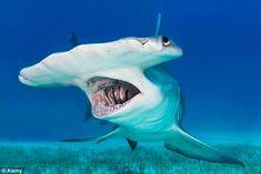 Requin marteau - Hammerhead shark by oceansharks Underwater Creatures, Underwater Life, Fauna Marina, Shark Photos, Deep Sea Creatures, Hammerhead Shark, Water Animals, Great White Shark, Orcas