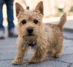 Watson the Norwich Terrier (by the Dogist)