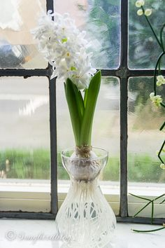 hyacinths on water: how to forge bulbs inside
