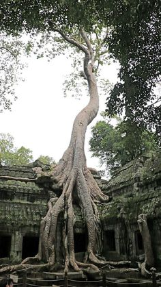 Tomb Raider Tree at Ta Prohm ancient Angkor Wat Temple, Cambodi