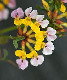 Lotus formissisimus 'Western Trefoil'