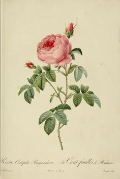 1824 - Les Roses - by P.J. Redoute - via https://archive.org/stream/lesroses1824pjre#page/n13/mode/2up