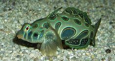 LSD Mandarinfish or Psychedelic Mandarinfish Underwater Creatures, Underwater Life, Ocean Creatures, Colorful Fish, Tropical Fish, Mandarin Fish, Sea Whale, Parrot Fish, Undersea World