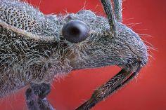 Camptopus lateralis, 1 by Ángel Febrero, via Flickr