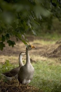 had geese like these ... they are friendly and a natural alarm for house and barn!
