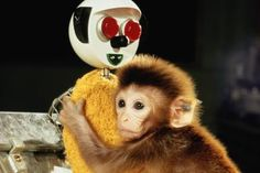 How Harry Harlow's Research on Love Shaped How We Treat Children to This Day: A young rhesus monkey clings to a surrogate mother in a lab experiment.