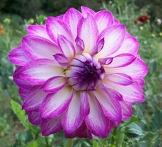 Clara Marie - This is one of my new favorite dahlias for 2012.  A formal decorative white dahlia that looks like the...