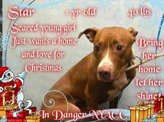 """""""STAR"""" -A PUPPY!!! - NYC ACC TO KILL - MON. 12/19/16 - AVAILABLE AT BROOKLYN ACC - # A1099701 - urgentpodr.org"""
