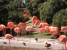 Flamingos during my visit to San Diego Zoo