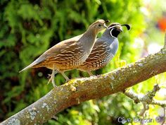 Quail - they live in a nearby farmer's blackberry bramble. Maggie and I see them on our morning walks. They have ventured into our yard only twice.  Its a large family,  over 20 birds, Pinner said.