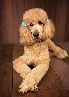 Kamri standard poodle