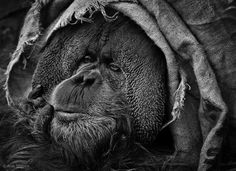 Hiding under burlap is always a safe choice (alternately: what well-dressed orangutans are wearing this season)
