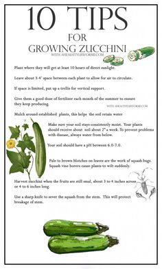 Vegetables Gardening 10 Tips for Growing Zucchini - A Healthy Life For Me Growing Zucchini, Growing Veggies, Growing Plants, Growing Squash, Zucchini Plants, How To Grow Zucchini, Growing Eggplant, How To Grow Squash, Vegetable Gardening