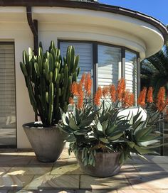 Lovely composition of Aloe 'Outback Orange' and Euphorbia 'Cowboy' in slick charcoal planters. These guys are incredibly hardy, sun loving and drought tolerant, making them perfect for those who claim to possess a 'black' thumb! Small Courtyard Gardens, Small Gardens, Container Plants, Container Gardening, Succulent Landscaping, Yard Landscaping, Cacti And Succulents, Succulent Ideas, Flower Planters