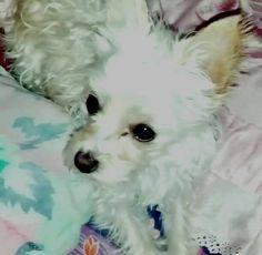 Lost Dog - Maltese - Ottawa, ON, Canada K1N 5V1