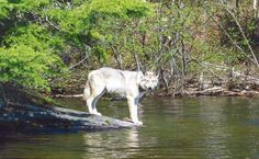 """wolveswolves: """" By Ontario Parks """" Animals And Pets, Cute Animals, Ontario Parks, Canadian Wildlife, Wolf Life, Algonquin Park, Wolf Photos, Wolf Stuff, Big Bad Wolf"""