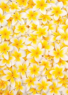 Flowers of Frangipani [Plumeria] Yellow Flowers, Beautiful Flowers, Yellow Flower Wallpaper, Rainbow Flowers, Flowers Nature, High School Makeup, Shades Of Yellow, Colour Yellow, Happy Colors