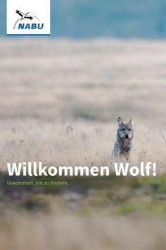 """Tiere & Pflanzen Säugetiere Wolf Materialien  Broschüre und Flyer """"Willkommen Wolf"""" Umfassende Infos über das seltene Wildtier - Bild: NABU/J. Borris"""