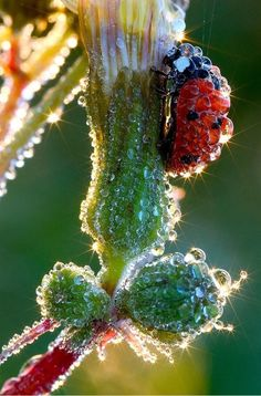 lady bug with dew Only Mother Nature. Beautiful Bugs, Amazing Nature, Beautiful World, Vida Natural, Fotografia Macro, Morning Dew, Water Droplets, Bugs And Insects, Belle Photo