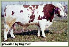 MEUSE RHINE YSSRL \This breed was developed in the southeastern sections of the Netherlands as a dual purpose breed, both milk and meat production.