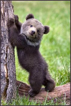 bear cub.   Look at my figure...Do you like it?  This is how you get to look like me, but humans may want to shave the hair.   LOL