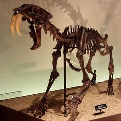 The fossils belong to the same lineage as the famous Smilodon fatalis from the La Brea Tar Pits in Los Angeles, a large. Prehistoric World, Prehistoric Creatures, Mundo Hippie, Animal Skeletons, Dinosaur Fossils, Extinct Animals, T Rex, Mammals, Anthropologie