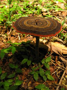**Amauroderma sp., Estación Biológica La Selva, Costa Rica